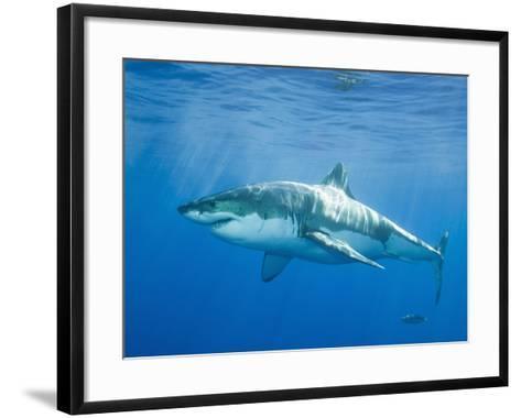 Great White Shark-DLILLC-Framed Art Print