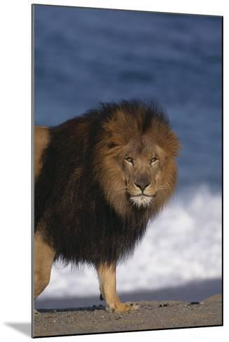 African Lion Standing on Beach-DLILLC-Mounted Photographic Print