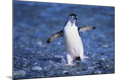 Chinstrap Penguin-DLILLC-Mounted Photographic Print