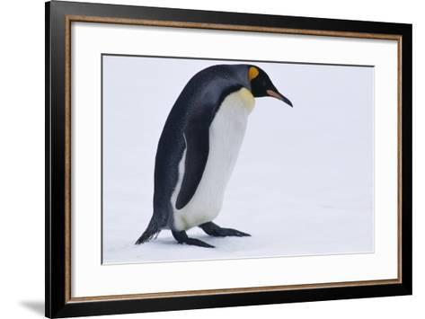 King Penguin-DLILLC-Framed Art Print