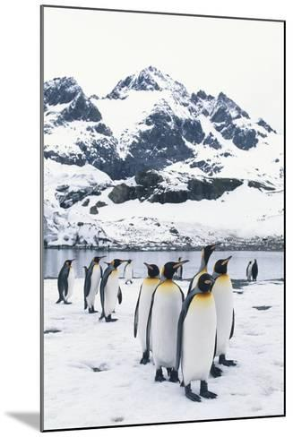 King Penguins Forming a Line-DLILLC-Mounted Photographic Print