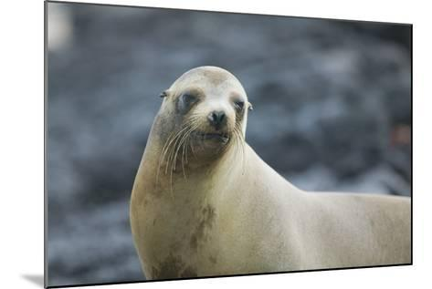 Galapagos Sea Lion-DLILLC-Mounted Photographic Print