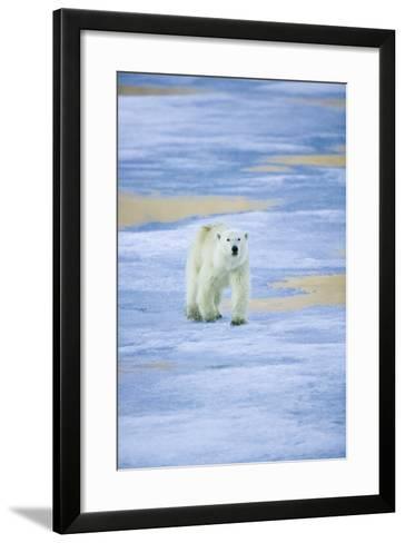 Polar Bear on Sea Ice-DLILLC-Framed Art Print