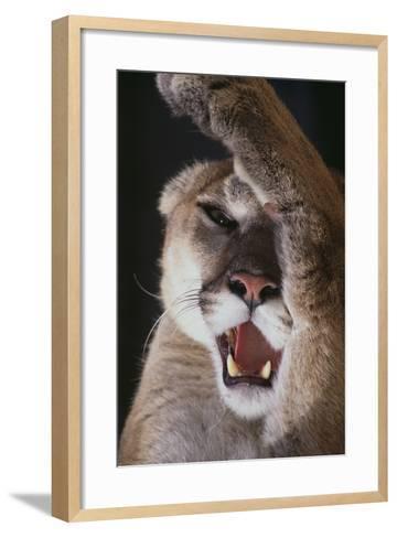 Mountain Lion Rubbing its Face-DLILLC-Framed Art Print