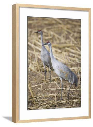 Sandhill Cranes-DLILLC-Framed Art Print