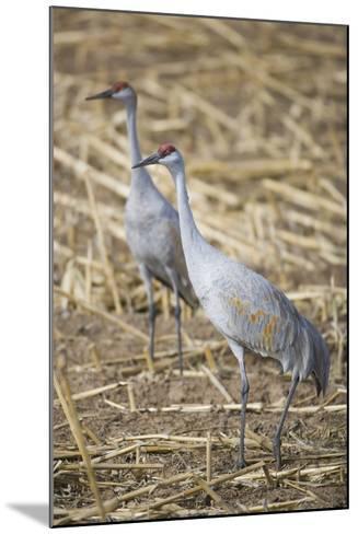 Sandhill Cranes-DLILLC-Mounted Photographic Print