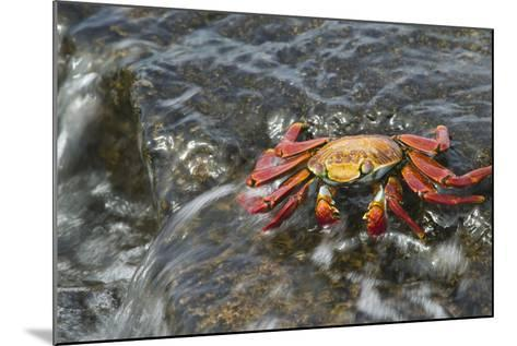 Sally Lightfoot Crab in Flowing Water-DLILLC-Mounted Photographic Print