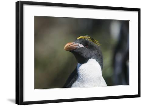Macaroni Penguin-DLILLC-Framed Art Print