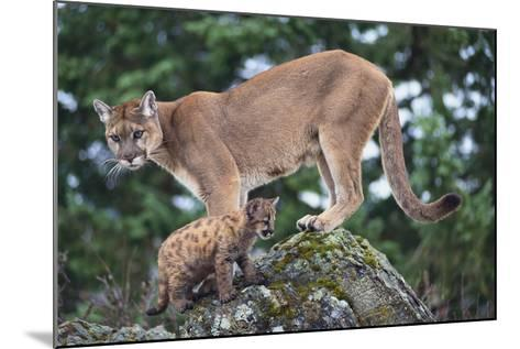 Cougar and Cub-DLILLC-Mounted Photographic Print