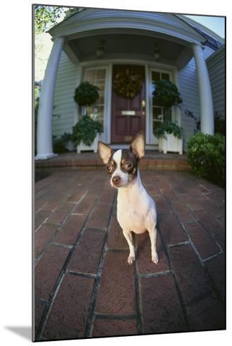 Chihuahua Dog-DLILLC-Mounted Photographic Print