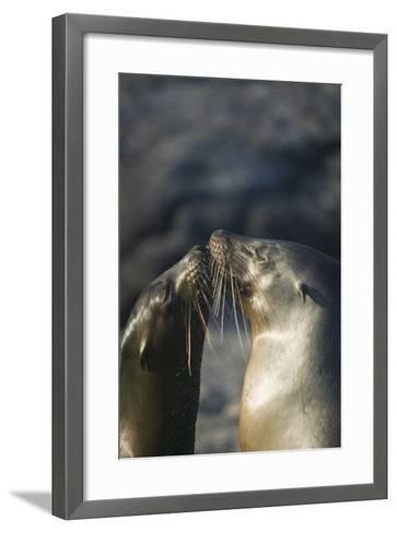 Galapagos Sea Lions in Love-DLILLC-Framed Art Print