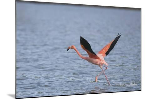 American Flamingo-DLILLC-Mounted Photographic Print