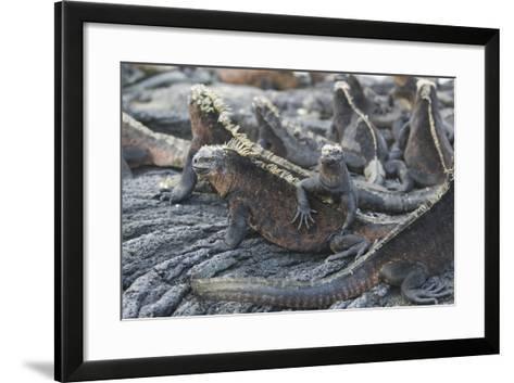 Marine Iguanas-DLILLC-Framed Art Print