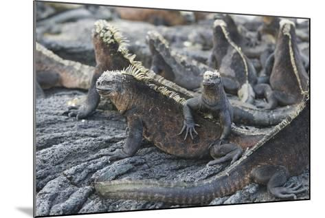 Marine Iguanas-DLILLC-Mounted Photographic Print
