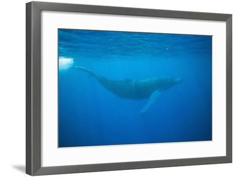 Whale Gliding Underwater-DLILLC-Framed Art Print