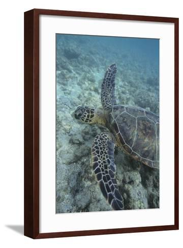 Green Sea Turtle Swimming-DLILLC-Framed Art Print