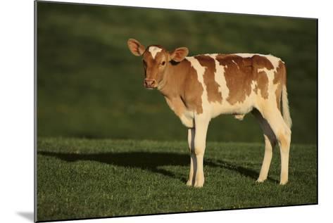 Holstein-Jersey Mix Calf-DLILLC-Mounted Photographic Print