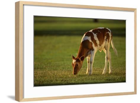 Grazing Holstein-Jersey Mix Calf-DLILLC-Framed Art Print