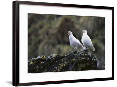 Two Sheathbill on a Rock-DLILLC-Framed Art Print