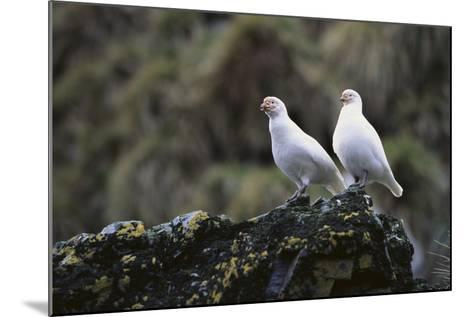 Two Sheathbill on a Rock-DLILLC-Mounted Photographic Print