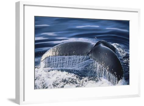 Humpback Whale's Tail Fluke-DLILLC-Framed Art Print
