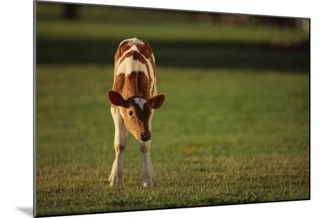 Holstein-Jersey Mix Calf-DLILLC-Mounted Photographic Print