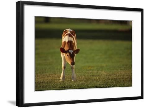 Holstein-Jersey Mix Calf-DLILLC-Framed Art Print