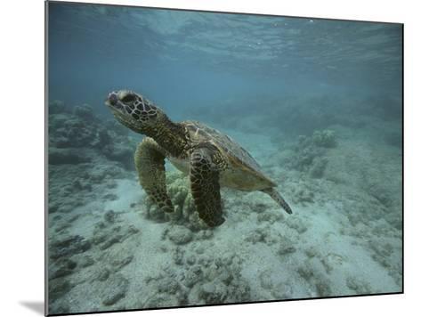 Green Sea Turtle Swimming-DLILLC-Mounted Photographic Print