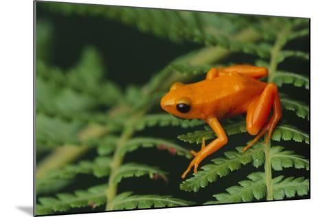 Mantella Aurantiaca-DLILLC-Mounted Photographic Print