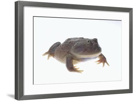 Budgett's Frog-DLILLC-Framed Art Print