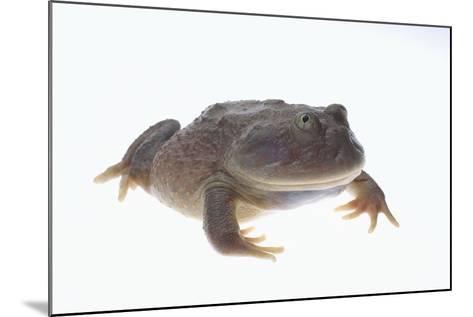 Budgett's Frog-DLILLC-Mounted Photographic Print