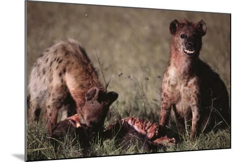 Spotted Hyenas Feeding on Carcass-DLILLC-Mounted Photographic Print