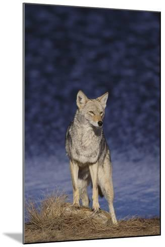 Coyote-DLILLC-Mounted Photographic Print