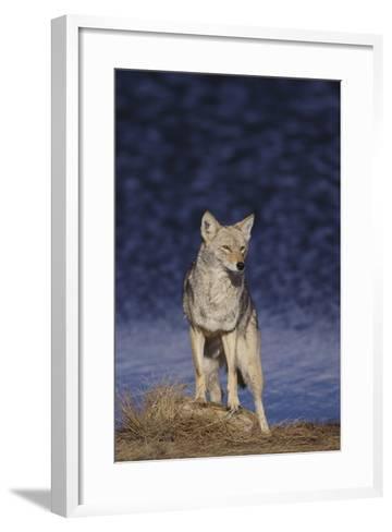 Coyote-DLILLC-Framed Art Print