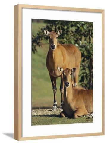 Two Nilgai-DLILLC-Framed Art Print