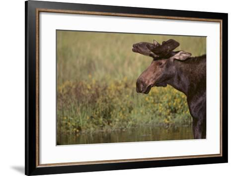 Moose-DLILLC-Framed Art Print