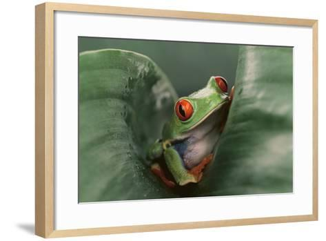 Agalychnis Callidryas-DLILLC-Framed Art Print