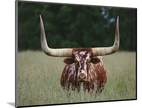 Longhorn Watusi Mix-DLILLC-Mounted Photographic Print
