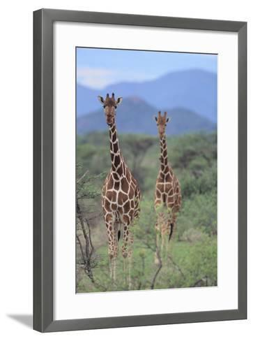 Two Giraffes Walking through the Bush-DLILLC-Framed Art Print
