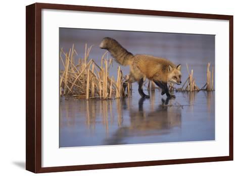 Red Fox-DLILLC-Framed Art Print
