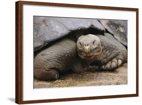 Galapagos Tortoise-DLILLC-Framed Art Print