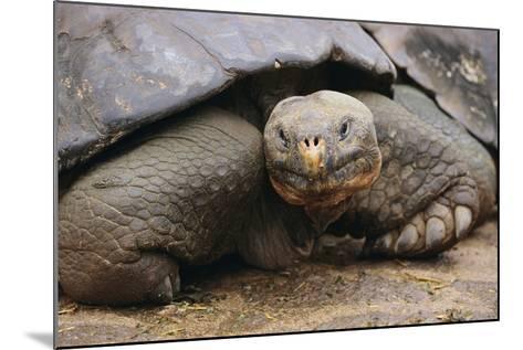 Galapagos Tortoise-DLILLC-Mounted Photographic Print