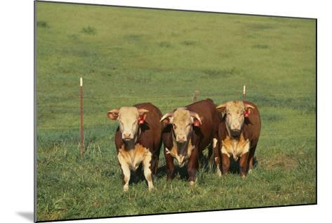 Hereford Cattle-DLILLC-Mounted Photographic Print