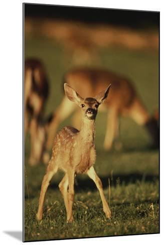 Baby Mule Deer-DLILLC-Mounted Photographic Print
