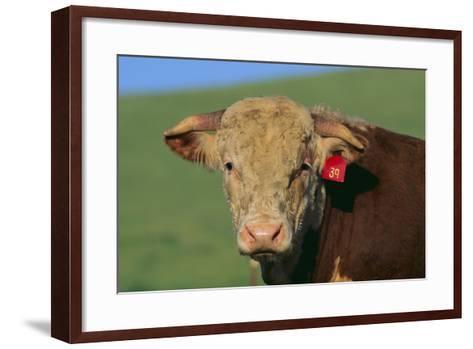 Hereford Bull-DLILLC-Framed Art Print