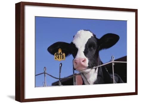 Holstein Calf with Eartag-DLILLC-Framed Art Print