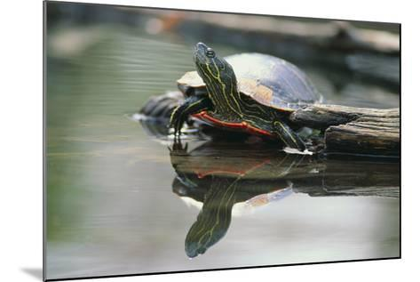 Western Painted Turtle Reflected in Pond Water-DLILLC-Mounted Photographic Print