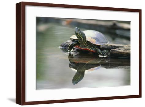 Western Painted Turtle Reflected in Pond Water-DLILLC-Framed Art Print