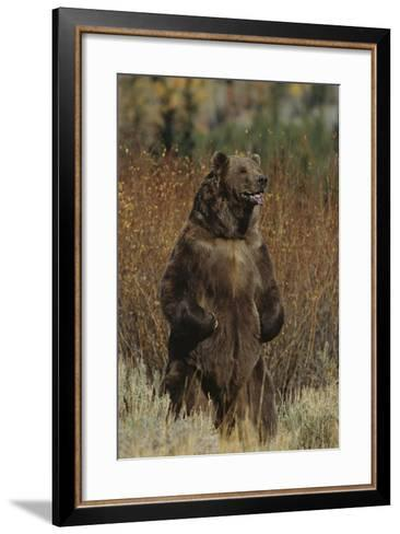 Grizzly Bear Standing in Meadow-DLILLC-Framed Art Print