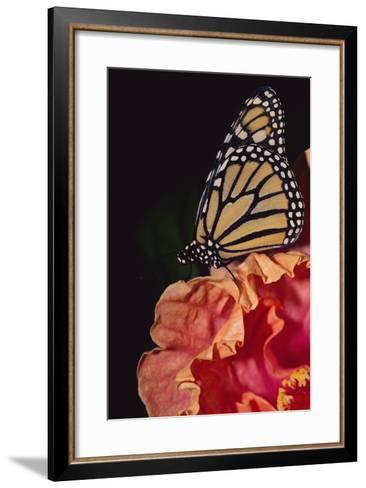 Monarch Butterfly-DLILLC-Framed Art Print